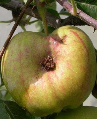 Einbohrung vom Apfelwickler