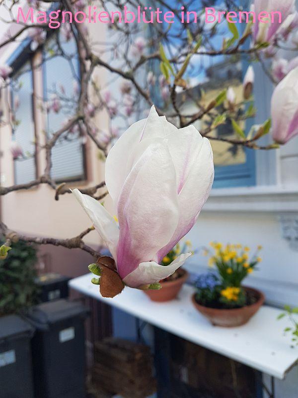 Magnolienblüte in Bremen