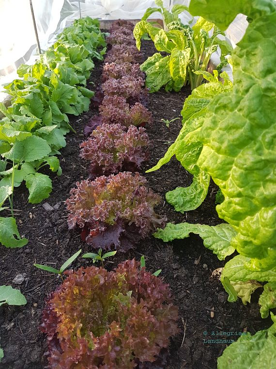 Radies Salat Mangold