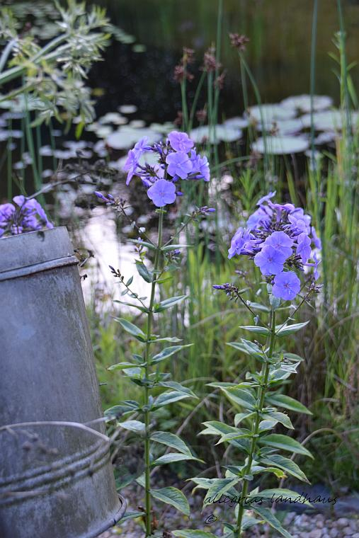 Phlox am Teich