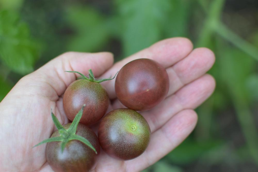 Black Cherry Tomaten