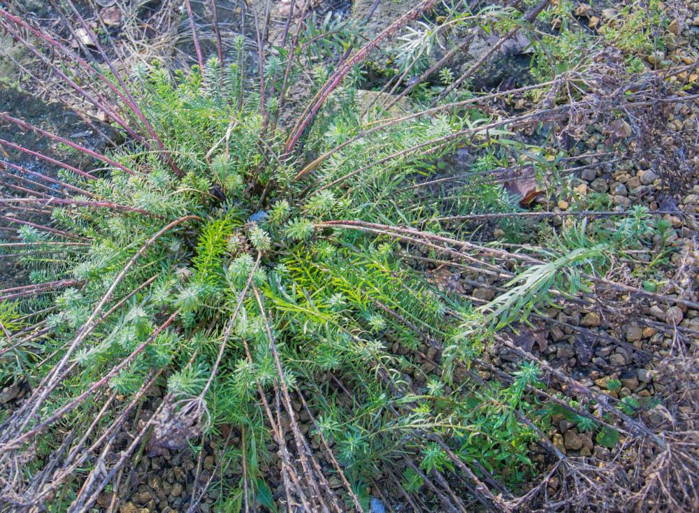 Euphorbia beim Neustart