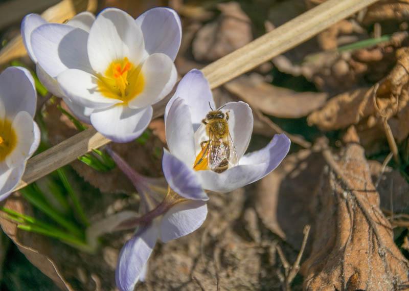 Honigbiene in Krokus