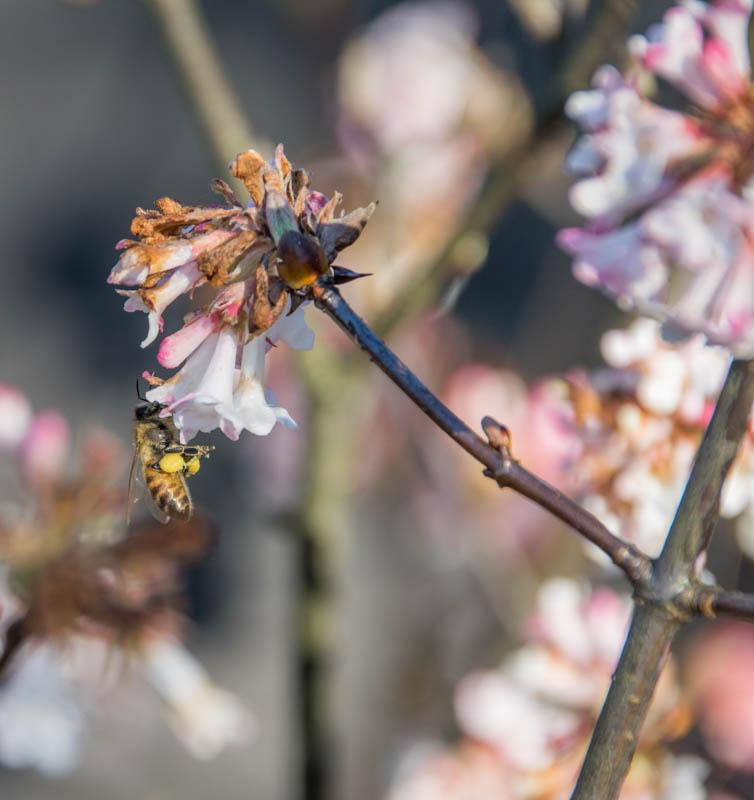 Biene am Duftschneeball