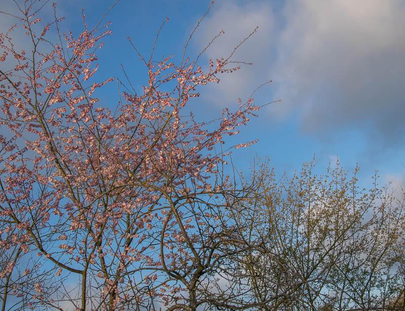 ZIerkirsche Prunus sargentii accolade