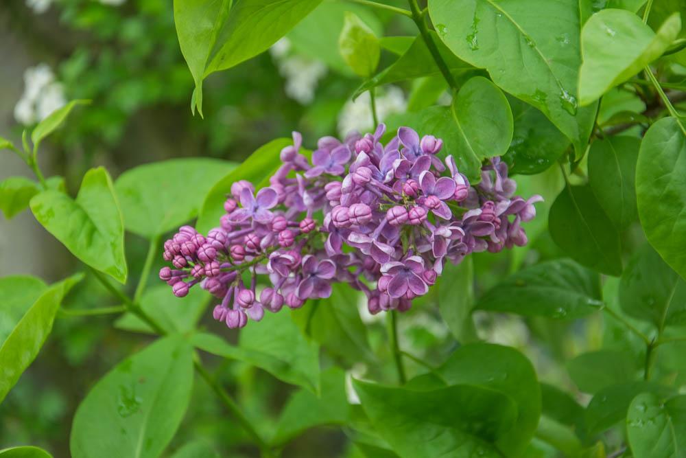 Flieder violett