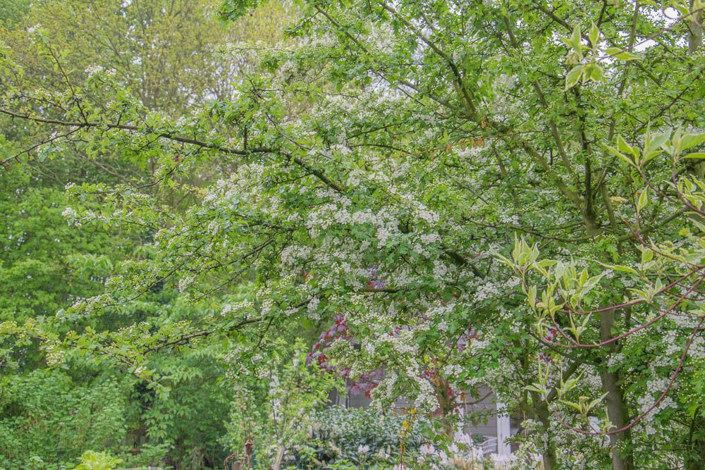 Weißdorn kommt in Blüte