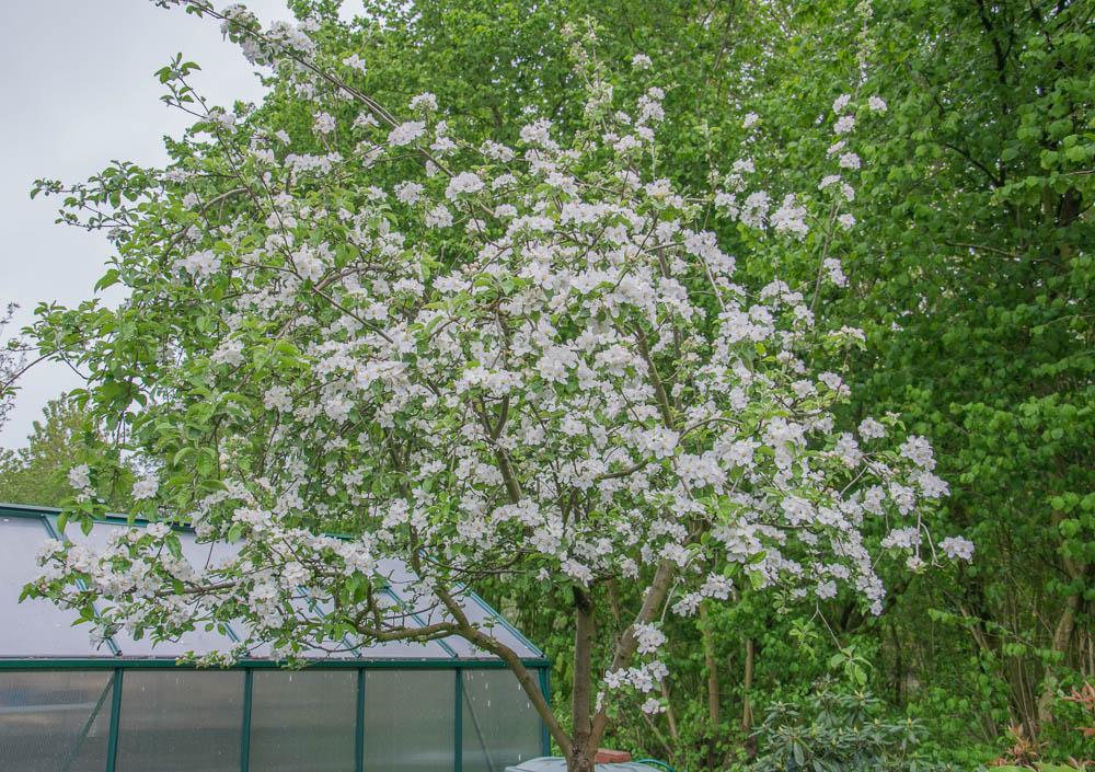 Spätapfel Ontario in voller Blüte