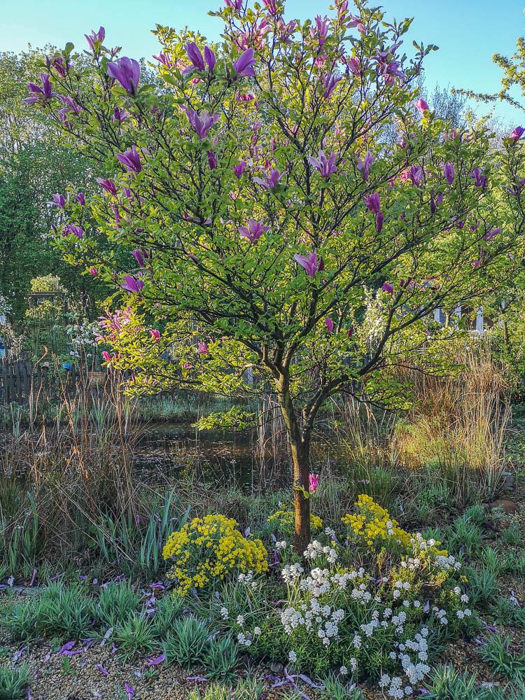 Magnolie am Teich