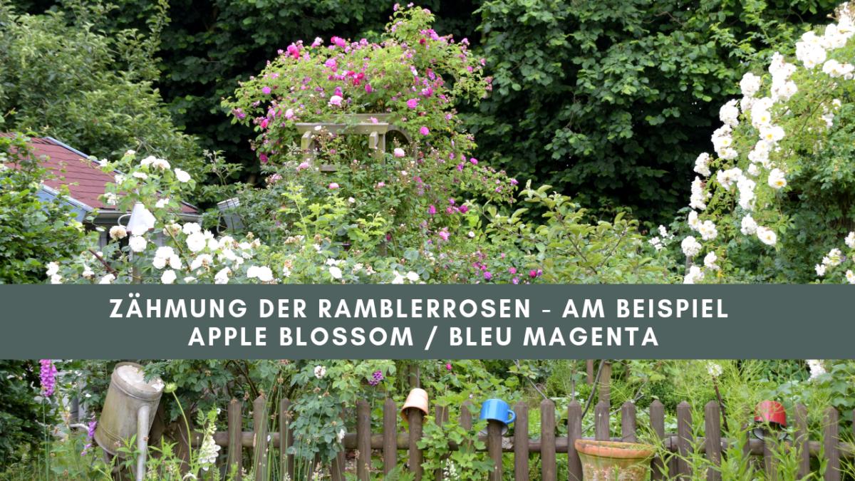 Ramblerrosen