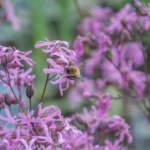 Kuckuckslichtnelke mit Wildbiene