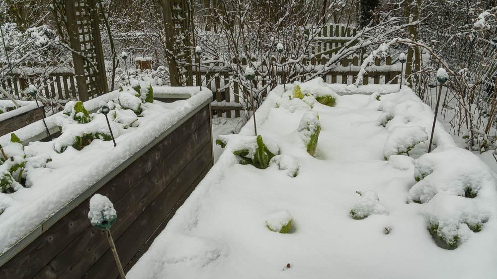 Wintergemüse im Schnee im Hochbeet ohne Schutz